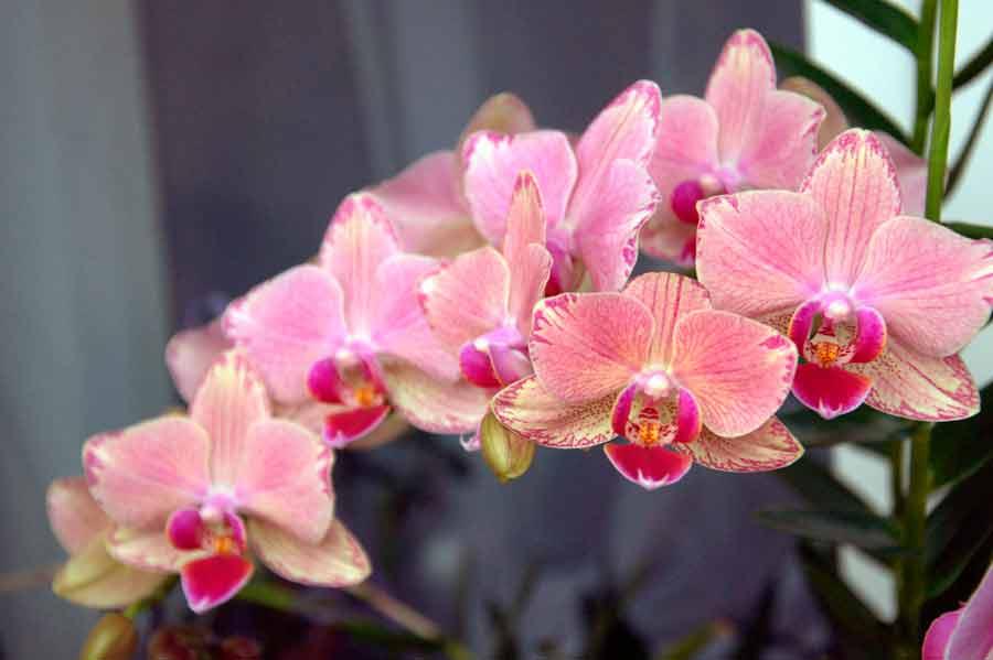 Возраст орхидеи зависит от ухода