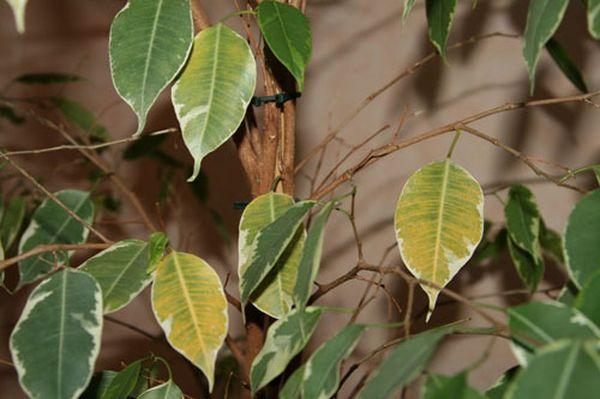 Как спасти фикус бенджамина опадают листья