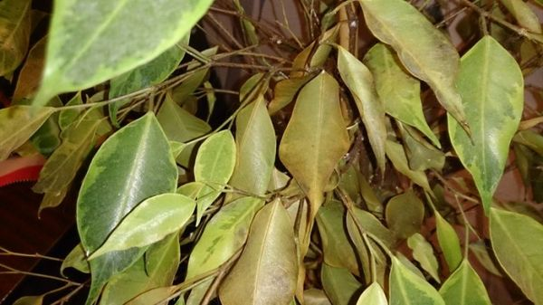 Часто листья опадают из-за вредителей
