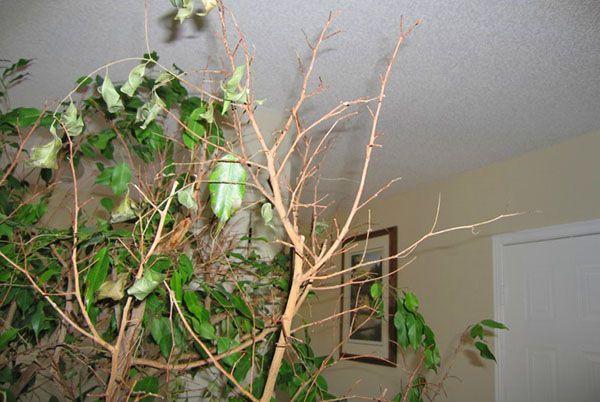 Фикус может просто сбрасывать листья