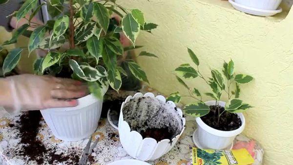 Неудачная пересадка негативно влияет на растение