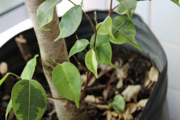 Пересадки и перестановки ухудшат жизнеспособность растения