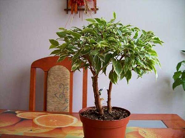 Дома это растение цветет крайне редко
