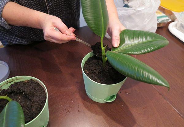 Как правильно выращивать фикус кустовой