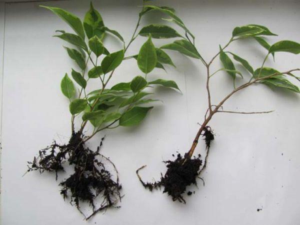 Как посадить фикус отростком: фото, видео