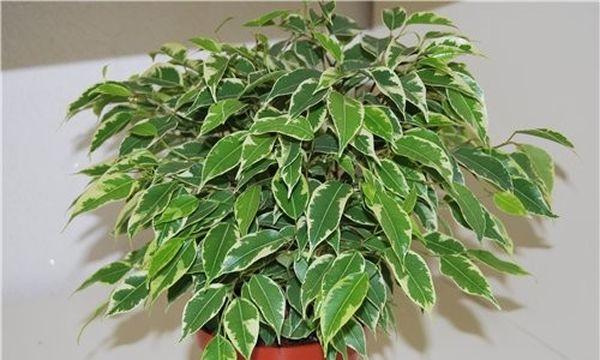 Растению нужно формировать пышную крону