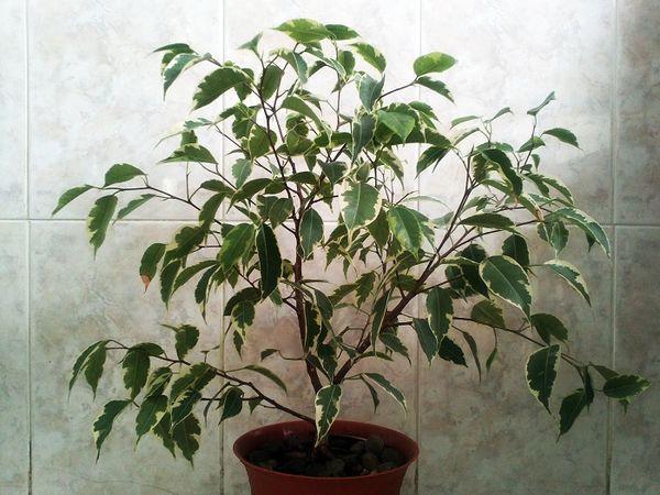 Обрезка ствола является стрессом для растения