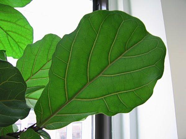Фикус Лировидный размножают черенками и семенами