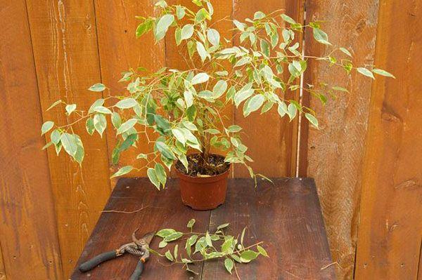 Фикус, который сбросил листья, не обязательно болен