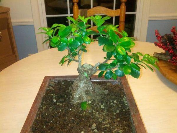Фикус Мокламе - элегантное растение