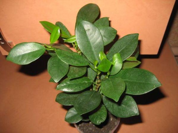 Фикусы – растения, любящие уединения