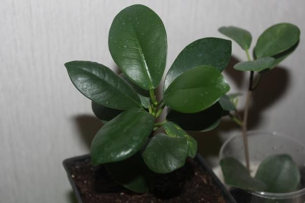 Летом растение поливают несколько раз в неделю