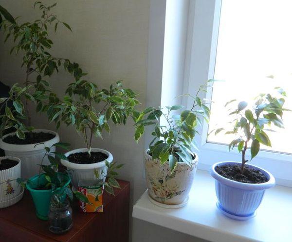 Нехватка или избыток удобрения негативно отражаются на растении