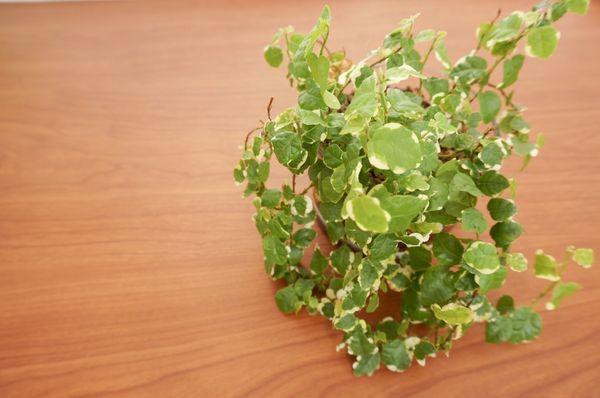 С весны по осень растения советуют подкармливать пару раз за месяц