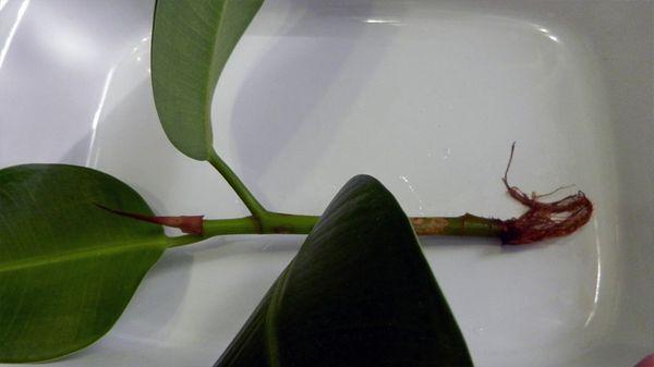 Черенками размножается фикус довольно активно
