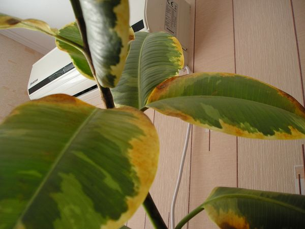 Неграмотная пересадка может привести к желтению листьев