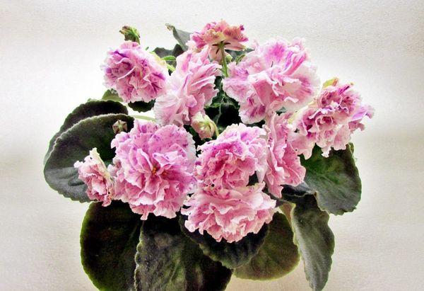 Фиалка Айседора – очень нежное и красивое растение