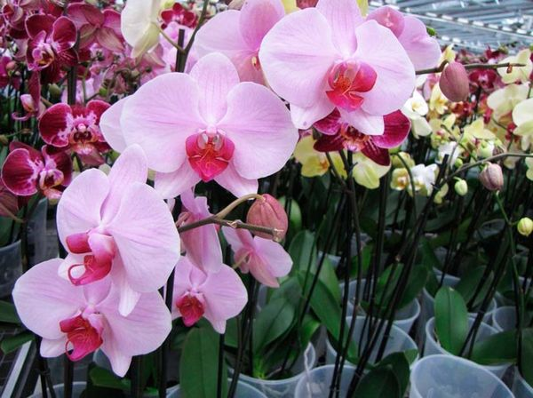 Осенью орхидея вступает в период покоя
