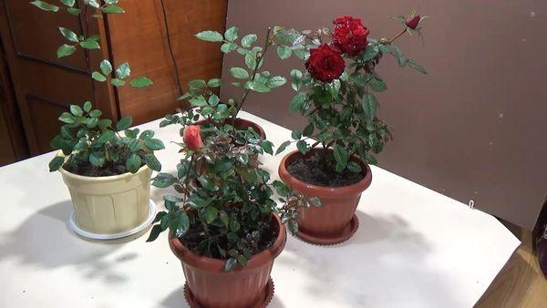 Розам не нужен слишком просторный вазон