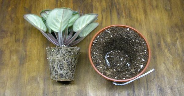 В почву фиалки рекомендуют добавлять азотсодержащие удобрения