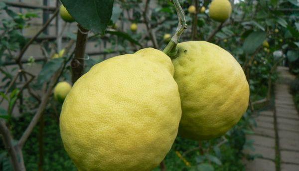 Лимон Майкопский имеет высокую урожайность