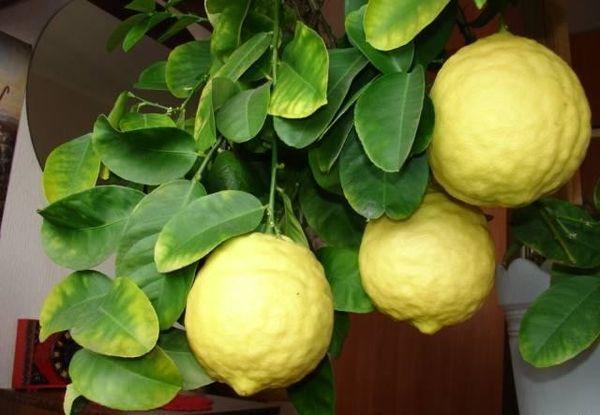 Лимон Пандероза начинает плодоносить на 2-й год
