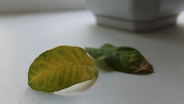 При отсутствии дренажа листья могут сохнуть