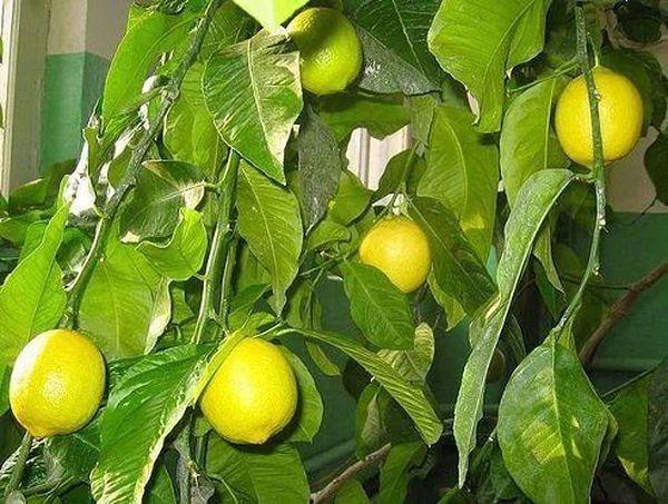 Правильный уход восстановит комнатный лимон
