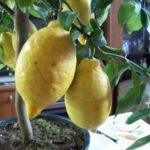 Лимон - самый полезный цитрусовый