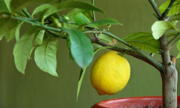 Лимон цветет только при правильном уходе
