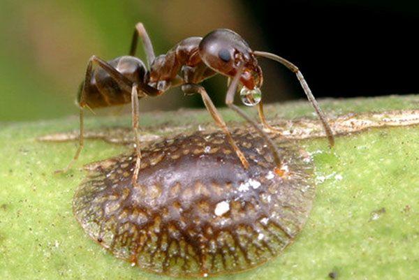 Щитовка небольшого размера, не больше муравья