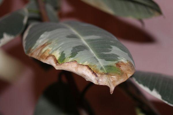 Вредители также приводят к желтению листков