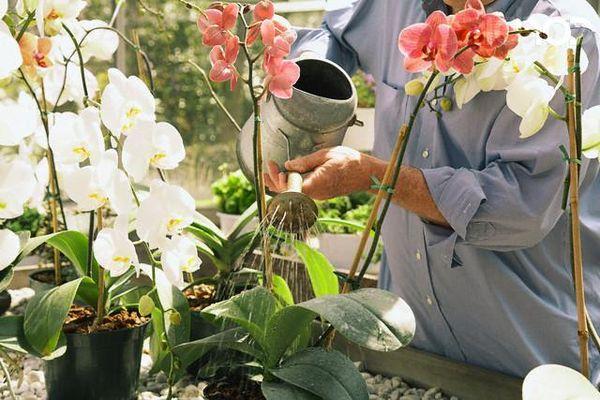 Правильный полив очень важен для растения