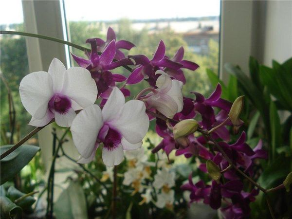 Цветущей орхидее требуются легкие перепады температур