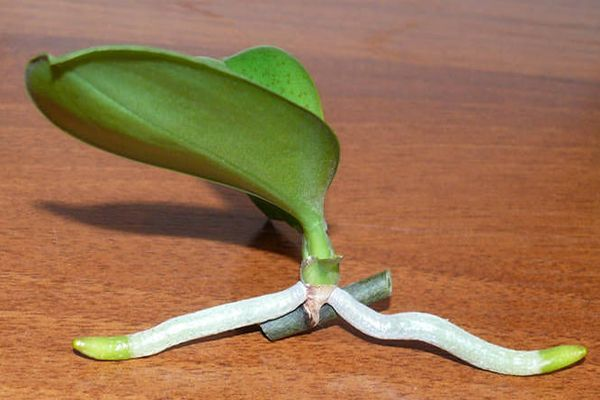 Детка орхидеи с корнями