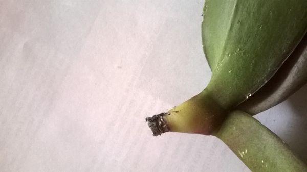 Корневин может спасти орхидею без корней