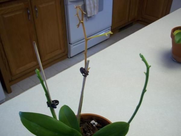 Отцветшая орхидея требует ухода