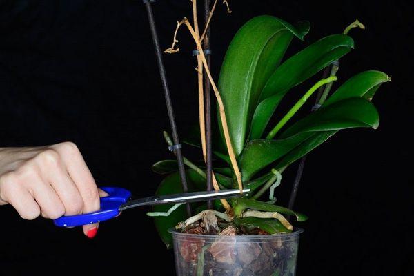 После цветения цветонос можно срезать