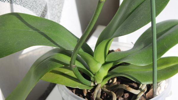 Отцветшая орхидея фаленопсис