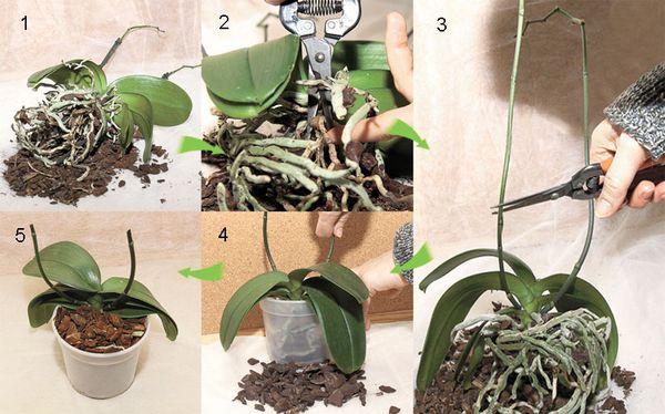 Схема по пересадке орхидеи