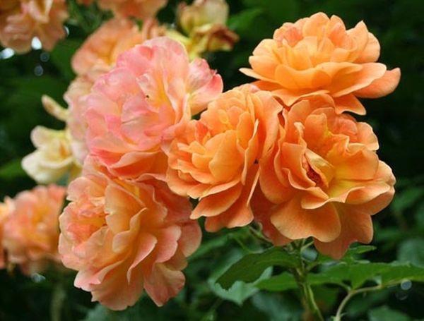 Роза Westerland зацветает довольно быстро после посадки
