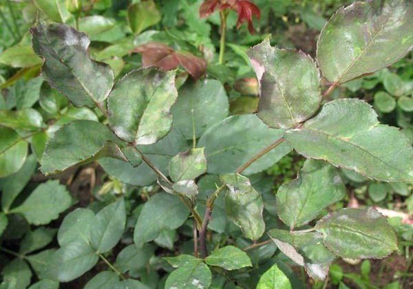 Листки скручиваются из-за атаки вредителей