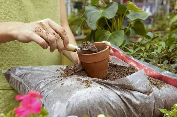 После пересадки цветы не нужно подкармливать