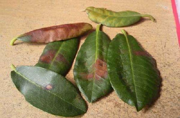 Причин опадания листьев у азалии может быть несколько