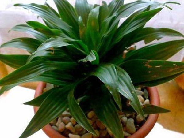 Драцена деремская абсолютно не привередливое растение