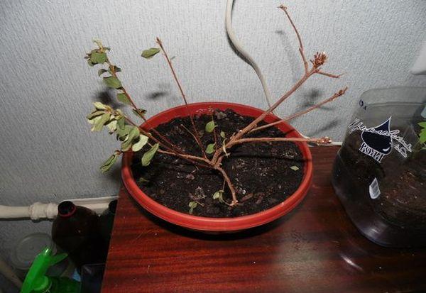 Болезни и вредители могут довести растение до полной потери листьев