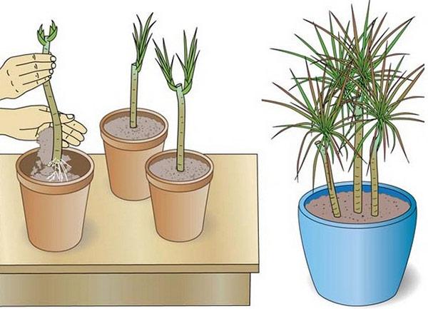 Эффективнее всего размножаются растения с помощью воздушных отводок