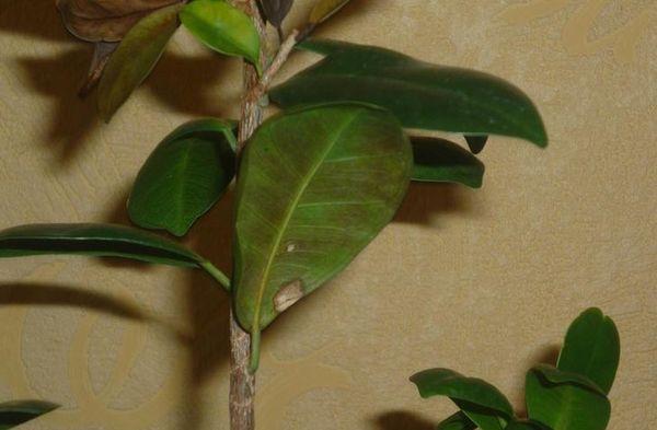 Выращивать азалию нужно в кислом грунте