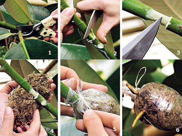Распространенный способ выращивания драцены из материнского растения