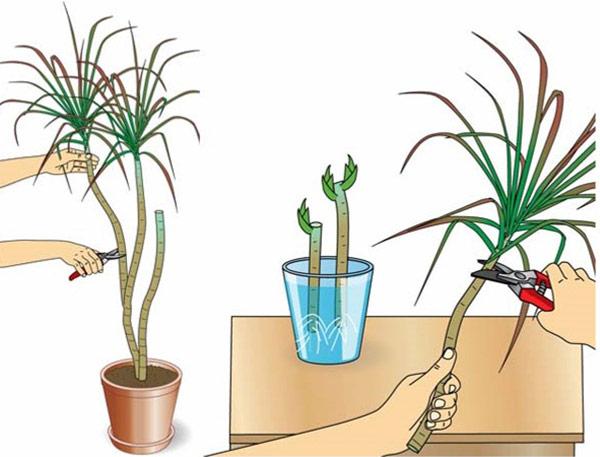 Размножение верхушечными черенками – один из самых простых способов